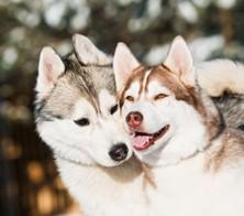 Husky And Mally 101
